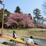 愛知県一宮市の「萬葉公園」に子供と一緒に行ってきました【河津桜】。2017