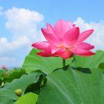 愛知県愛西市の蓮の名所「森川花はす田」