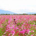 一面のコスモス畑で遊ぼう!|岐阜県羽島市の花の名所「いちのえだ田園フラワーフェスタ」